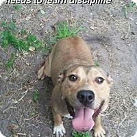 Adopt A Pet :: Destlny - Hialeah, FL