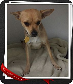 Chihuahua Mix Puppy for adoption in Apache Junction, Arizona - Triscuit