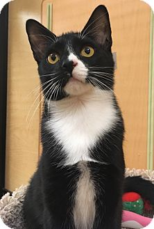 Domestic Shorthair Cat for adoption in Monroe, Georgia - Jovonte'