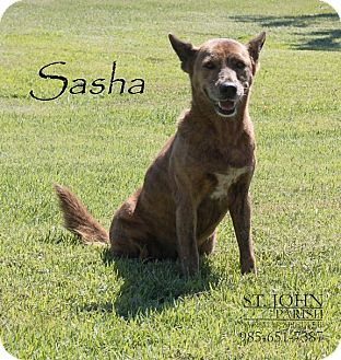 Shepherd (Unknown Type) Mix Dog for adoption in Laplace, Louisiana - Sasha