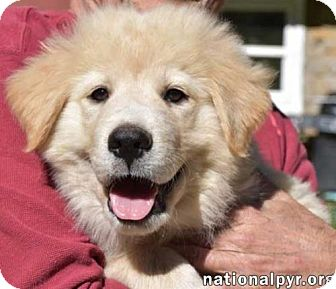 Great Pyrenees Mix Puppy for adoption in Beacon, New York - Archer - new pup!