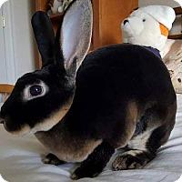 Adopt A Pet :: Velveteen Elvis - Aurora, IL