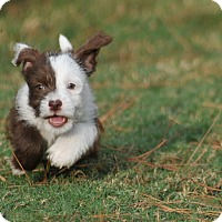 Adopt A Pet :: Isa - Wellesley, MA