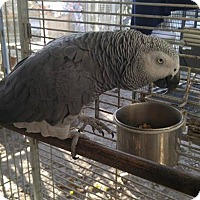 African Grey for adoption in Burleson, Texas - Tango