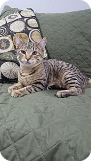 Domestic Shorthair Kitten for adoption in Hawk Point, Missouri - Expo