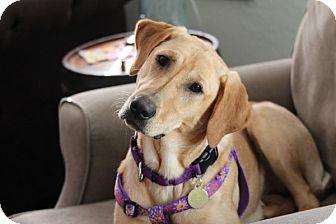 Labrador Retriever Dog for adoption in Minnetonka, Minnesota - Gracie