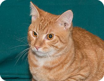 Domestic Shorthair Kitten for adoption in Elmwood Park, New Jersey - Marmalade