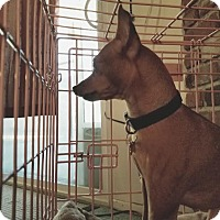 Miniature Pinscher Dog for adoption in Fullerton, California - Jack