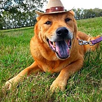 Chow Chow Mix Dog for adoption in Simsbury, Connecticut - Humphrey