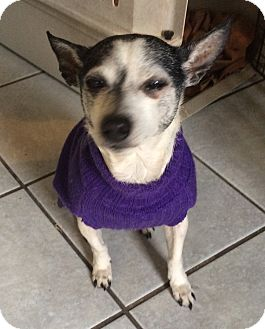 Chihuahua Dog for adoption in Crowley, Louisiana - Sweet Pea