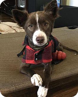 Australian Shepherd Mix Dog for adoption in Brooklyn, New York - Rose Bryne