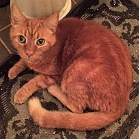 Adopt A Pet :: Big Red (Declawed) - Chattanooga, TN