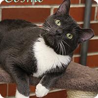 Adopt A Pet :: Cosmo - Bradenton, FL