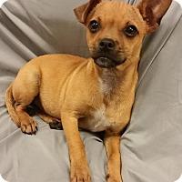 Adopt A Pet :: Dewey - Saddle Brook, NJ