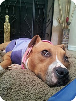 Boxer/Pit Bull Terrier Mix Dog for adoption in Orlando, Florida - Jane