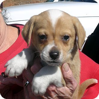 Beagle/Spaniel (Unknown Type) Mix Puppy for adoption in baltimore, Maryland - Twerp