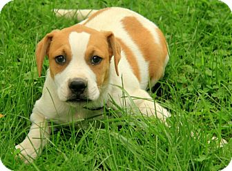 Boxer/American Bulldog Mix Puppy for adoption in Brattleboro, Vermont - Leland (adoption fee $350)