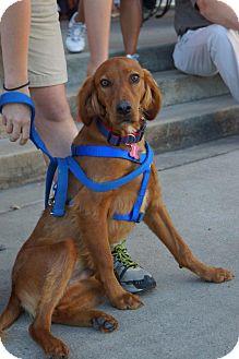 Irish Setter Dog for adoption in Murfreesboro, Tennessee - Mayhem