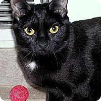 Domestic Shorthair Cat for adoption in Fairfax Station, Virginia - Libby