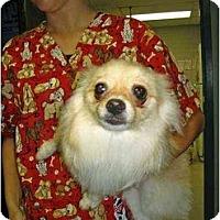 Adopt A Pet :: Miss Bling - Kingwood, TX
