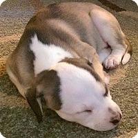 Adopt A Pet :: Calamity Jayne - Gainesville, FL