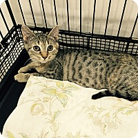 Adopt A Pet :: Harper - Speonk, NY