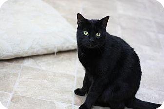 Domestic Shorthair Cat for adoption in Colorado Springs, Colorado - Cody