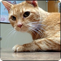 Adopt A Pet :: Marmalade - Colorado Springs, CO