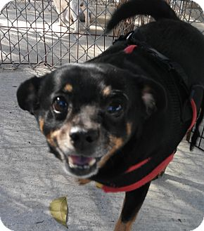 Miniature Pinscher/Chihuahua Mix Dog for adoption in Boca Raton, Florida - Doogie