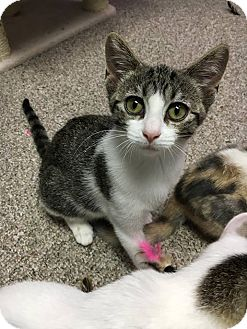 Domestic Shorthair Kitten for adoption in Columbus, Ohio - Joey