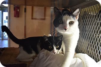 Domestic Shorthair Cat for adoption in Bay Shore, New York - Paris