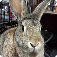 Adopt A Pet :: Chauntel - Williston, FL