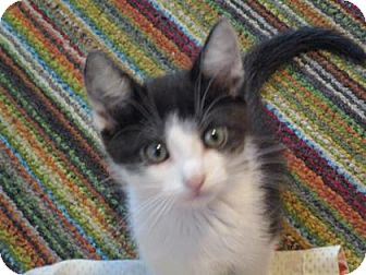 Domestic Shorthair Kitten for adoption in Fort Collins, Colorado - Quill