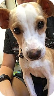 Chihuahua Mix Puppy for adoption in Tallahassee, Florida - Dobby