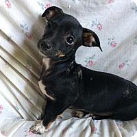 Adopt A Pet :: AA Cosmo - McCormick, SC