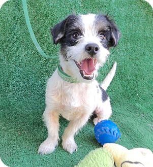 Terrier (Unknown Type, Medium) Mix Dog for adoption in San Diego, California - Jeremy