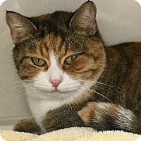 Domestic Shorthair Cat for adoption in Manteo, North Carolina - Delilah