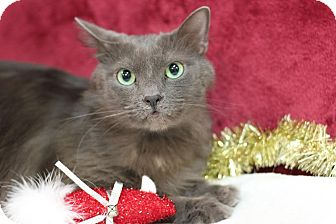 Domestic Longhair Cat for adoption in Midland, Michigan - Leo