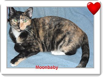 American Shorthair Cat for adoption in Pensacola, Florida - Moonbaby