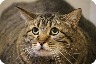 Domestic Shorthair Cat for adoption in Colorado Springs, Colorado - LK