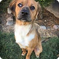 Adopt A Pet :: Gunner - Fredericksburg, TX