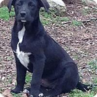 Labrador Retriever Mix Puppy for adoption in Albany, New York - Fallon