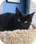 Domestic Mediumhair Cat for adoption in Anchorage, Alaska - Raven