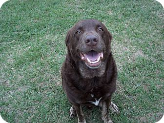 Labrador Retriever Mix Dog for adoption in Tampa, Florida - Buddy