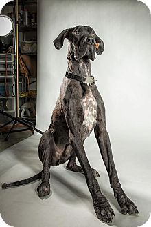Great Dane Dog for adoption in Virginia Beach, Virginia - Duke