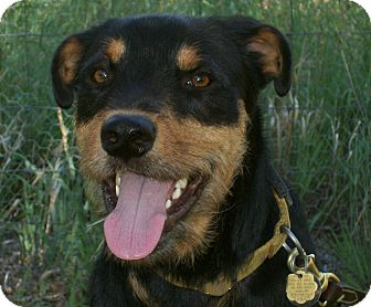 George | Adopted Dog | Questa, NM | Rottweiler/Airedale ...