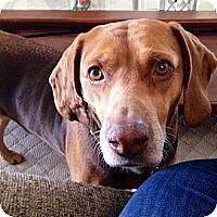 Adopt A Pet :: Toffee - Novi, MI