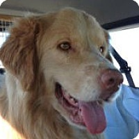 Adopt A Pet :: Simba - Denver, CO
