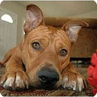 Adopt A Pet :: Halo - In New England - kennebunkport, ME