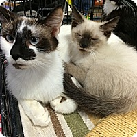 Adopt A Pet :: Marshmellow and Mini Marshmell - Pittstown, NJ